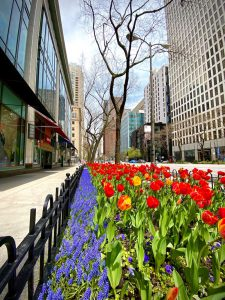 Image of a bed of flowers, next to a sidewalk with a retail store, and high rise buildings flanking the street, this is the Magnificent Mile in Chicago